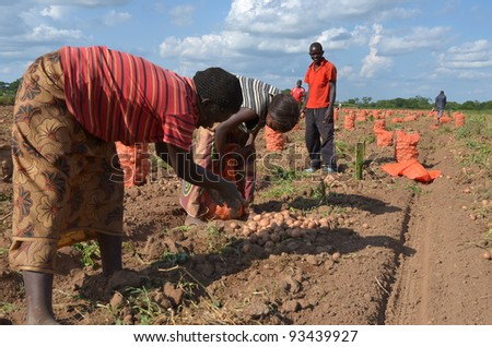 LUSAKA, ZAMBIA - DECEMBER 2: group of farmers select potatoes for distribution in Zambia and Malawi,on December 2,2011 in Lusaka, Zambia