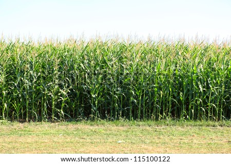 Luscious cornfields in the countryside.