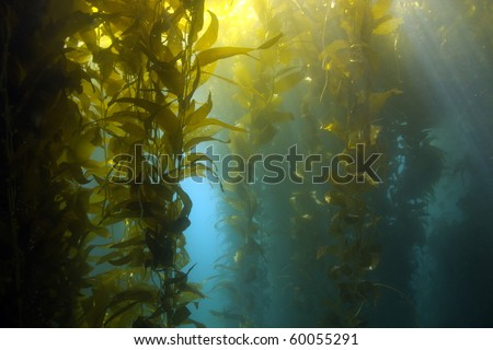 luscious green kelp forest underwater at casino point, catalina island, california, usa. vibrant exotic ocean reef