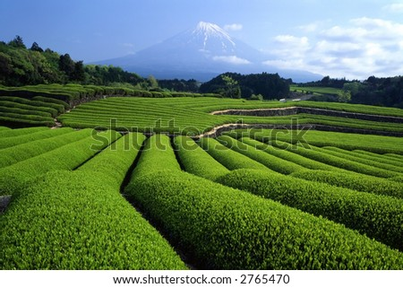 Luscious green tea fields at the foot of Mt. Fuji
