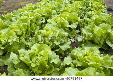Lush and healthy lettuce plants growing in a small community garden.