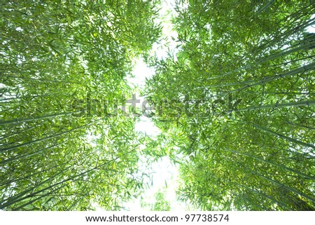 lush bamboo forest  from bottom view,beijing China