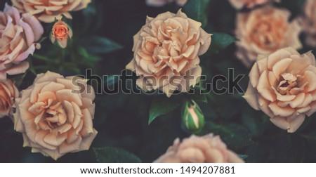 Lush blooming beige roses in the garden, dark vintage floral background. #1494207881