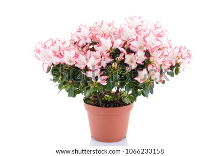Lush blooming plant of azalea in flower pot isolated on white background. Pink and white rhododendron. Flower shop and care for house plants concept #1066233158