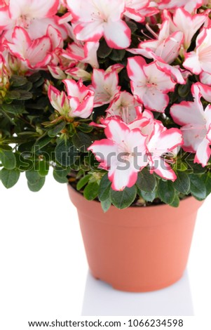 Lush blooming plant of azalea in flower pot isolated on white background. Pink and white rhododendron. Flower shop and care for house plants concept #1066234598