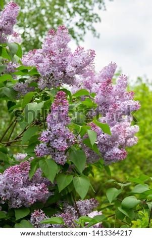 Lush bush lush, beautiful purple violet flowers large candle inflorescences. Lilac Syringa nature vertical photo #1413364217