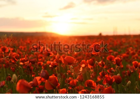 lush flowering red wild poppies at sunset.