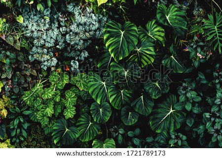 Lush foliage background. Green plant wall design of tropical leaves (anthurium, philodendron pastazanum, epiphytes or ferns). Dark green plants growing in cloud forest, rainforest in tropical climate