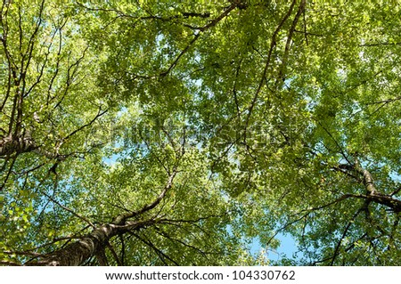 Lush Green Birch Tree Forest in Spring, low angle shot