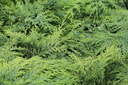 Lush green branches of a Lawson cypress