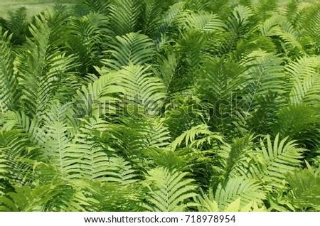 lush green fern plants