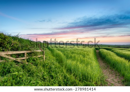 Lush green fields of barley growing in the English countryside