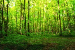 Lush green fresh beech forests