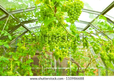 Lush green grapes growing in a greenhouse