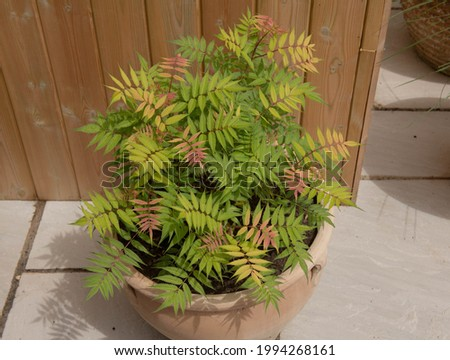 Lush Green Leaves Tinged with Red on a False Spiraea Plant (Sorbaria sorbifolia 'Sem') Growing in a Terracotta Pot on a Terrace with a Wooden Wall Background in a Garden in Rural Devon, England, UK Stockfoto ©