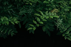 Lush green leaves with dark tone background