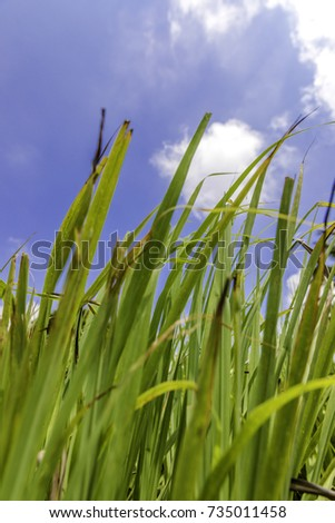 Lush green lemon grass with blue sky and white cloud background