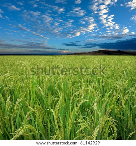 Lush green rice field with a blue sky and clouds
