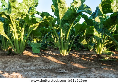 lush green sugar beets in the ground