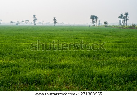Lush green wheat crop and dates trees #1271308555