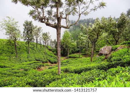 Lush greenery. These lush green tea plantations are very extensively planted in Burliyar, Tamilnadu, India, since the climate in that town is very much conducive for the growth of tea plantations.  #1413121757