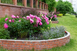 Lush pink peonies in a summer flowerbed against a background of a brick wall. Landscaping. Perennial flowering plants.