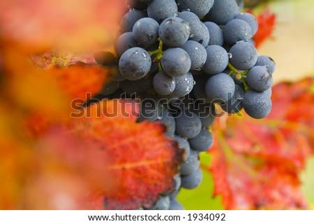 Lush ripe grapes on the vine 54