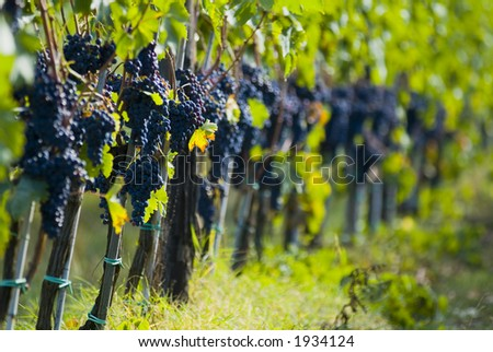 Lush ripe grapes on the vine 86