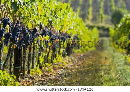 Lush ripe grapes on the vine 88