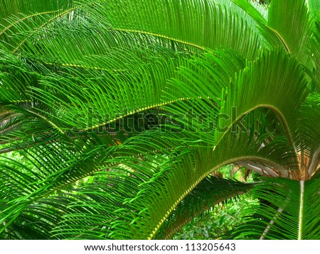 Lush Tropical palm fronds in El Yunque Rain Forest of Puerto Rico