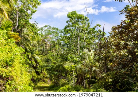 Lush tropical vegetation with endemic palm trees at Glacis Noire nature trail leading to the highest peak of Praslin Island - Mont Azore. Seychelles. Photo stock ©