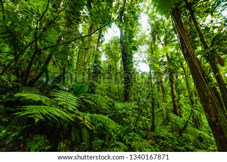 Lush vegetation in Basse Terre jungle in Guadeloupe, French west indies. Lesser Antilles, Caribbean #1340167871