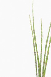 Lush verdant snake grass plant with long green stems and without leaves isolated on white background