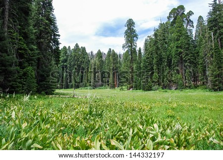 Lush wild meadows, taken in the Giant Forest of Sequoia National Park in Tulare County, California. taken in 2007