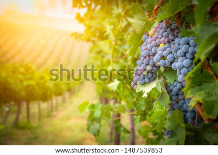 Lush Wine Grapes Clusters Hanging On The Vine. Foto d'archivio ©