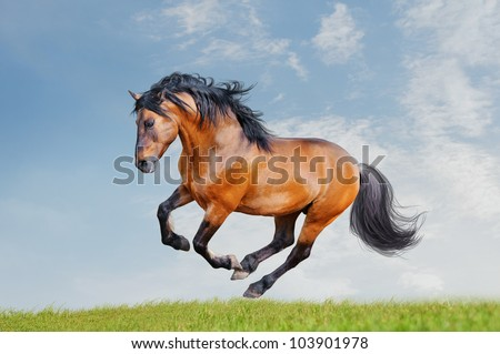 lusitano horse runs free in the field stock photo 103901978 horse for free 450x319