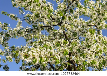 Luxuriantly flowering spring sweet cherry tree, white flowers and young green leaves, blue spring sky in the background, sunny day #1077762464
