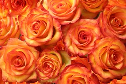 Luxurious bouquet of Mamma Mia / Fryjolly hybrid tea roses in yellow, orange, peach and apricot colors. Closeup still life photo of blooming flowers. Classic floral art studio image.
