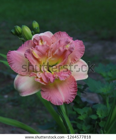 Luxury flower  daylily in the garden close-up.A daylily is a flowering plant in the genus Hemerocallis.Edible flower. Daylilies are perennial plants. They only bloom for 24 hours.