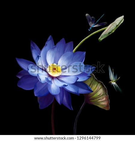 Luxury purple Lotus close - up isolated on black background. Two dragonflies flying over a Lotus flower
