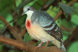 Luzon bleeding-heart  dove (Gallicolumba luzonica)