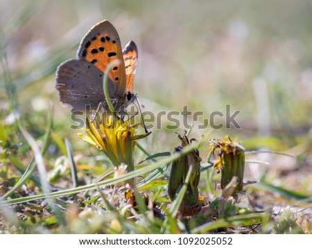 Lycaena phlaeas, the small copper, American copper, or common copper, is a butterfly of the Lycaenids or gossamer-winged butterfly family. #1092025052