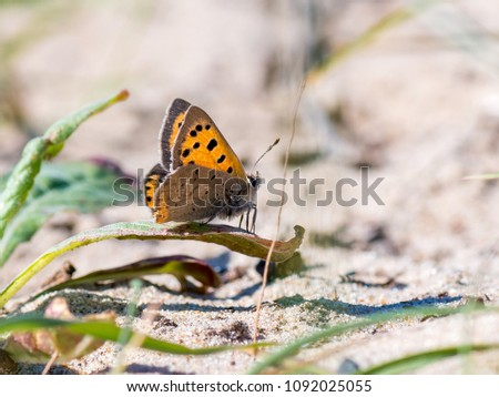 Lycaena phlaeas, the small copper, American copper, or common copper, is a butterfly of the Lycaenids or gossamer-winged butterfly family. #1092025055