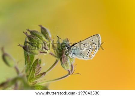 Lycaenidae butterfly resting on Wood cranesbill, Geranium sylvaticum