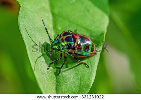 Lychee Shield (Common name) on green leaf.Chrysocoris stolii (Scientific name) #331231022