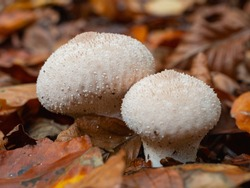 Lycoperdon perlatum, popularly known as the common puffball, warted puffball, gem-studded puffball, or the devil's snuff-box