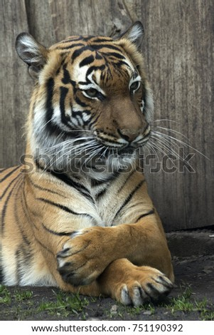 lying Bengal tiger kept in the zoo #751190392