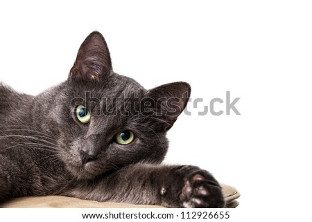 lying british shorthair cat with white copy space
