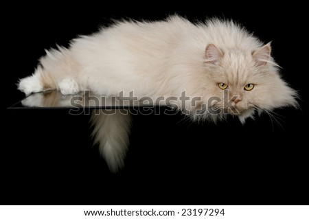 Lying Cat in studio, black background.