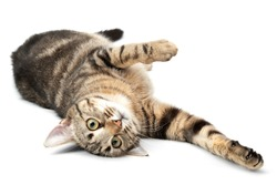 Lying cat tabby funny and playful isolated on white background.